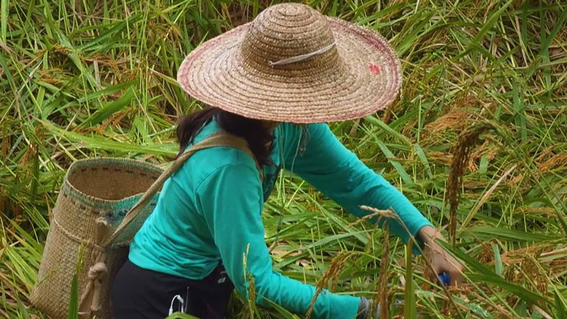 person with straw hat and straw basket on back snipping leaves in field of tall leaves